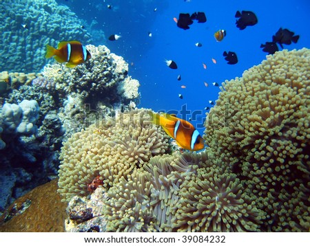 Clown fish with its young in the anemone site - stock photo