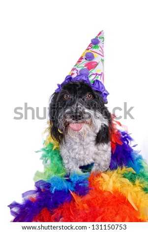 Clown Havanese dog sticking tongue out isolated on white - stock photo