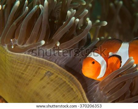 Clown-Nemo Fish with Anemone coral - stock photo