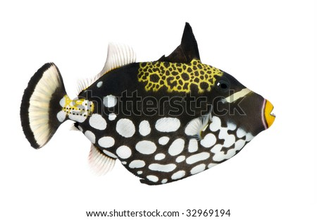 Clown triggerfish - Balistoides conspicillum in front of a white background - stock photo