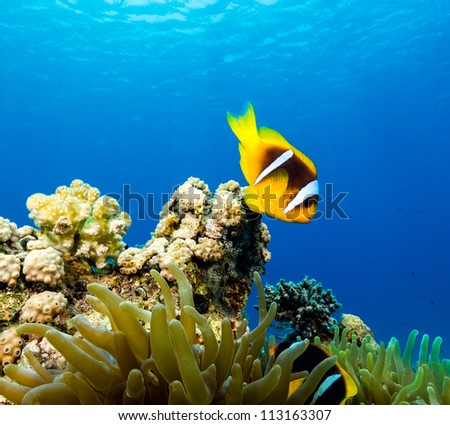 Clownfish in blue water above its host anemone - stock photo