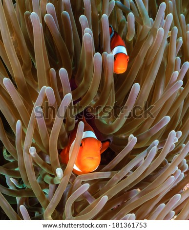 Clownfish in the protective tentacles of their host anemone - stock photo