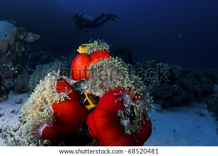 Clownfish on an anemone with a diver in the background, in the Red Sea, Egypt - stock photo
