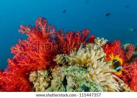 Clownfish swimming next to vidid ref soft corals on a tropical reef - stock photo
