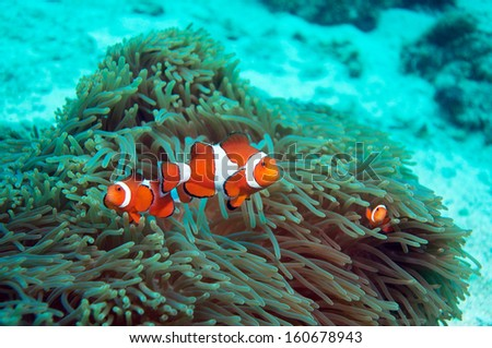 Clownfish with anemone - stock photo