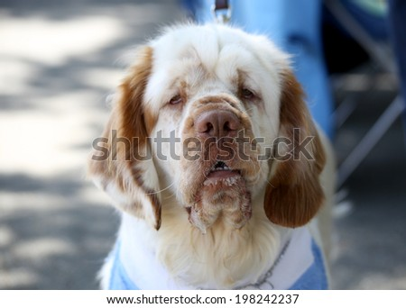 Clumber Spaniel posing for his picture - stock photo