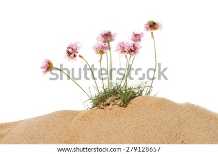 Clump of Thrift, Armeria maritima, flowers growing in sand against a white background - stock photo