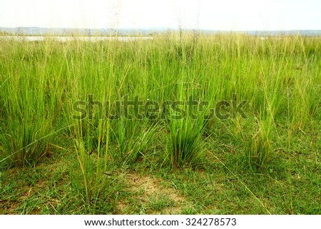Clumps of savannah grasses during the wet season in Uganda. - stock photo