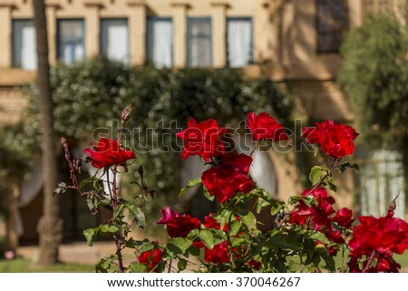 Cluster of delicate fresh pink roses blooming on a bush outdoors in a formal garden or park , close up view - stock photo