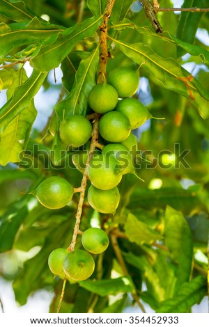 Cluster of fresh macadamia nuts hanging on its tree - stock photo