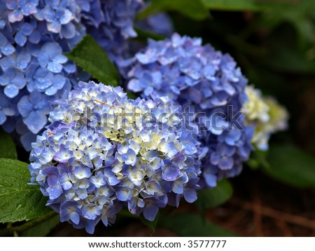 Cluster of Hydrangea flowers in blue and white - stock photo