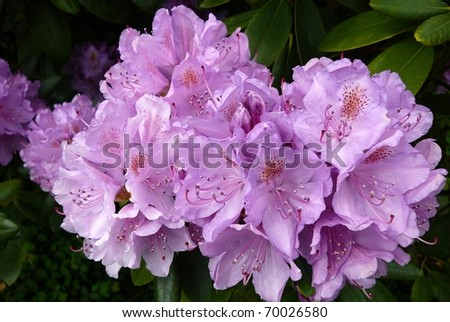 Cluster of Lavender Rhododendron Flowers - stock photo