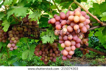 cluster of pink grape on the vine - stock photo