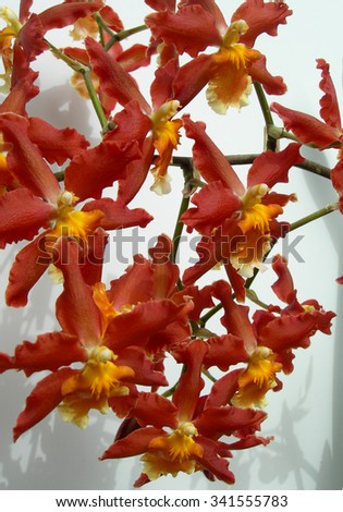 Cluster of rare Marsala red orchids with orange centers against a white background - stock photo