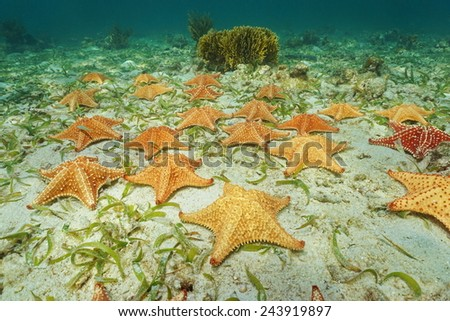 Cluster of starfish, Oreaster reticulatus, underwater on the ocean floor - stock photo