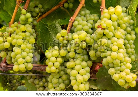 Cluster of  White Wine Grapes on the Vine - stock photo