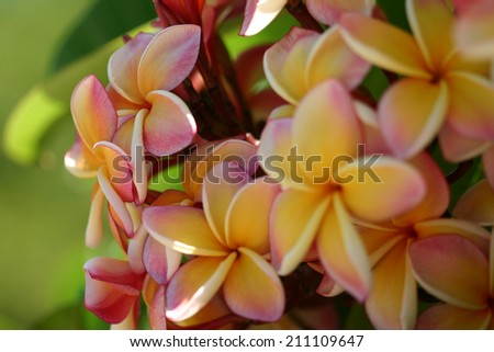 cluster of yellow and pink plumeria with foreground blurred - stock photo