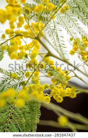 Clusters of globular round vivid yellow Mimosa flowers with fresh green foliage over a pale blue sky with selective focus to some of the balls of flowers - stock photo