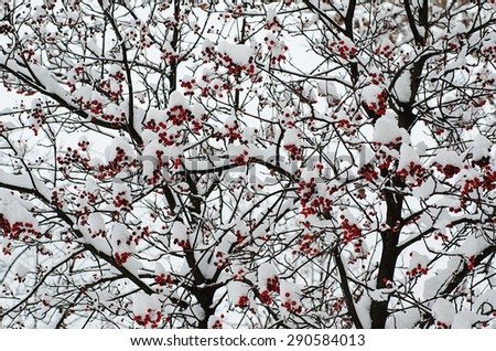 Clusters of red rowan berry under the snow, seasonal holiday natural background - stock photo