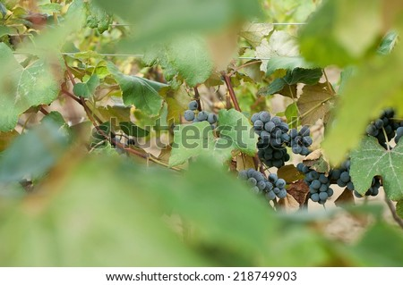 Clusters of red wine grape in vineyard ready to harvest with blurred green leaves - stock photo