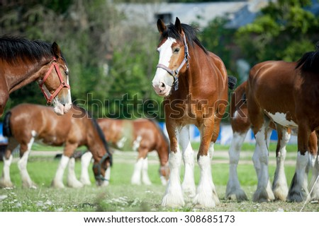 Clydesdale buddies taking their lunch out of doors - stock photo