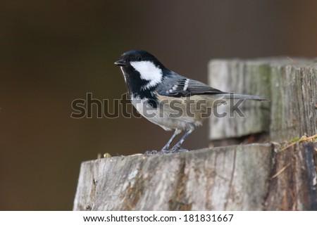 coal tit Parus ater passerine bird feeders in winter food paride search pontresina Swiss Engadine National Park - stock photo