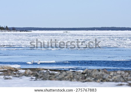 Coast, coastline and shore of the Baltic Sea in March during the day, hours when the ice at sea breaks up. Sunny day by the sea. Mute swans, Cygnus olor in a pond this side.  - stock photo