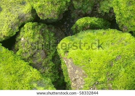 coastal background texture of algae on rocks at low tide - stock photo