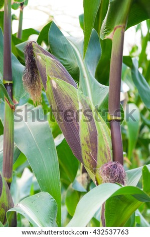 Cob purple fresh corn on the stalk, ready for harvest, purple corn in field agriculture,corn cobs on stalks in farm field - stock photo