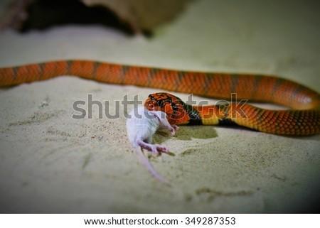 cobra eating - stock photo