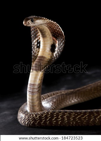 Cobra hood - stock photo