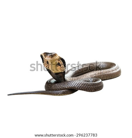 Cobra isolate on white background - stock photo