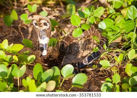 Cobra snake in natural habitats - Sri Lanka wildlife - stock photo