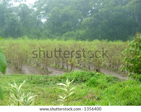 Cocaine fields near Cuzco, Peru - stock photo