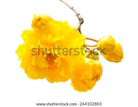 Cochlospermum regium,yellow flower blooming on the tree. - stock photo