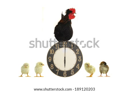 cock and chicks on a white background                                - stock photo