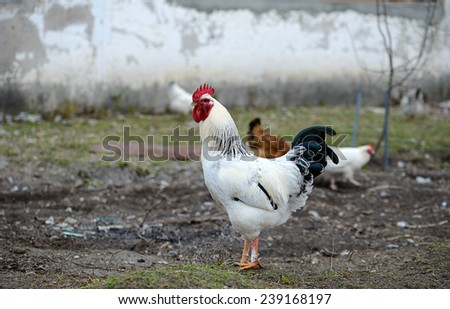 Cock in the farm - stock photo