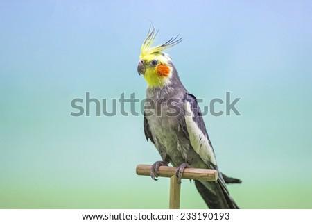 Cockatiel  (Nymphicus hollandicus). - stock photo