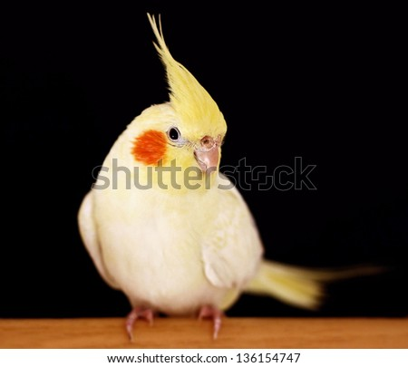 Cockatiel parrot on black background - stock photo