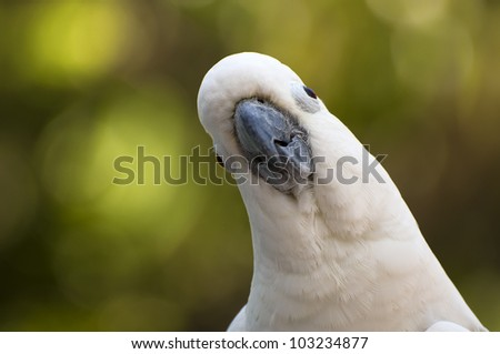 Cockatoo - stock photo