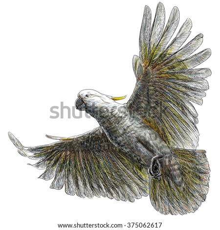 Cockatoo flying hand draw and paint on white background illustration. - stock photo