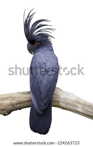 cockatoo on white background - stock photo