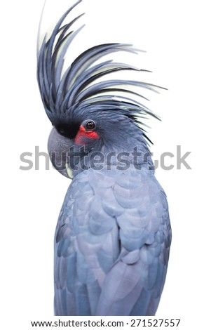 cockatoo white background - stock photo