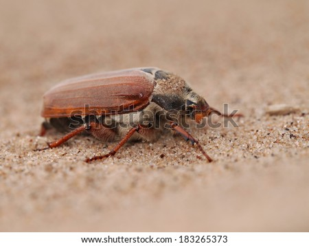 Cockchafer, Melolontha melolontha, also known as May bug on a sand - stock photo