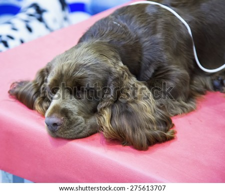 Cocker dog sleeping over red background, horizontal image - stock photo