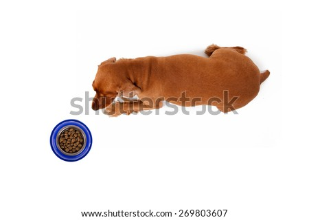 Cocker dog waiting for food in blue bowl, top view, isolated on white background. - stock photo