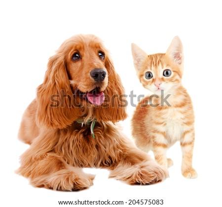 Cocker spaniel and kitten isolated on white - stock photo