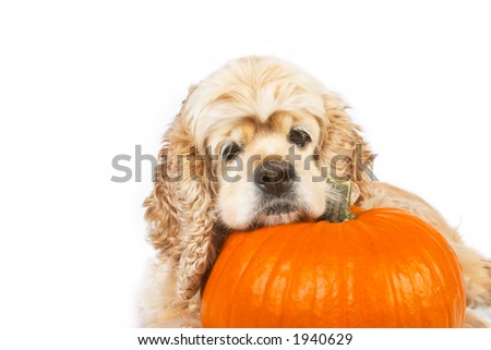 Cocker spaniel and pumpkin isolated on white background - stock photo