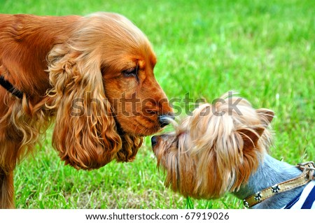Cocker spaniel and puppy yorkshire - stock photo