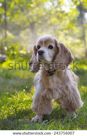 cocker spaniel at the garden  - stock photo
